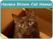 Havana Brown Cat Names